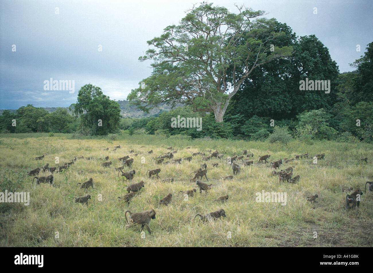 Huge troop of Olive Baboons in grass on ground in Lake Manyara National Park Tanzania East Africa Stock Photo