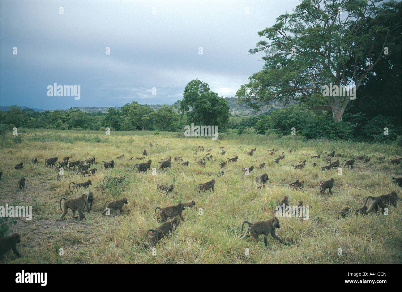 Huge troop of Olive Baboons in grass on ground in Lake Manyara National Park Tanzania East Africa - Stock Image