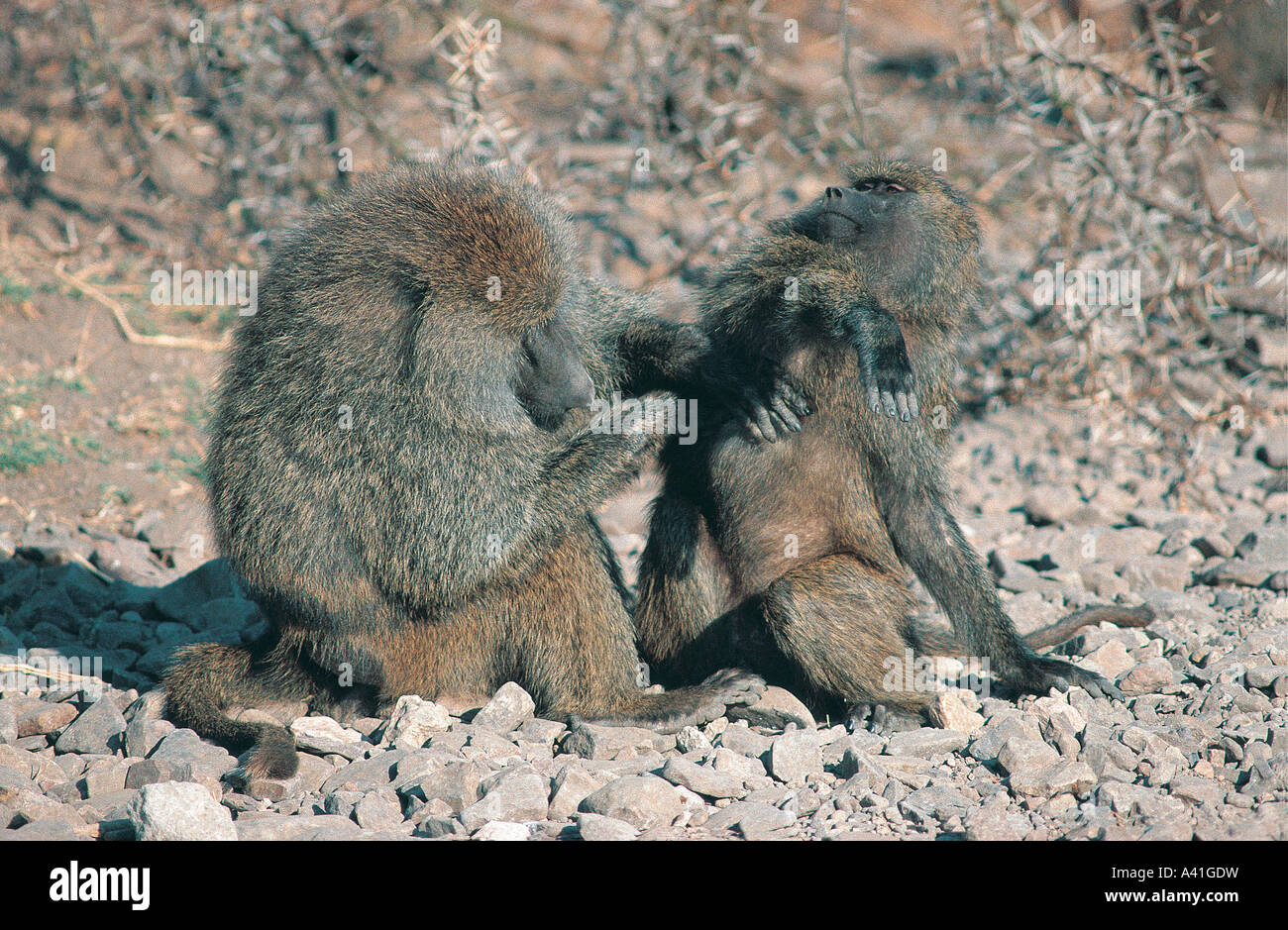 Male Olive Baboon grooms a female in Serengeti National Park Tanzania East Africa - Stock Image