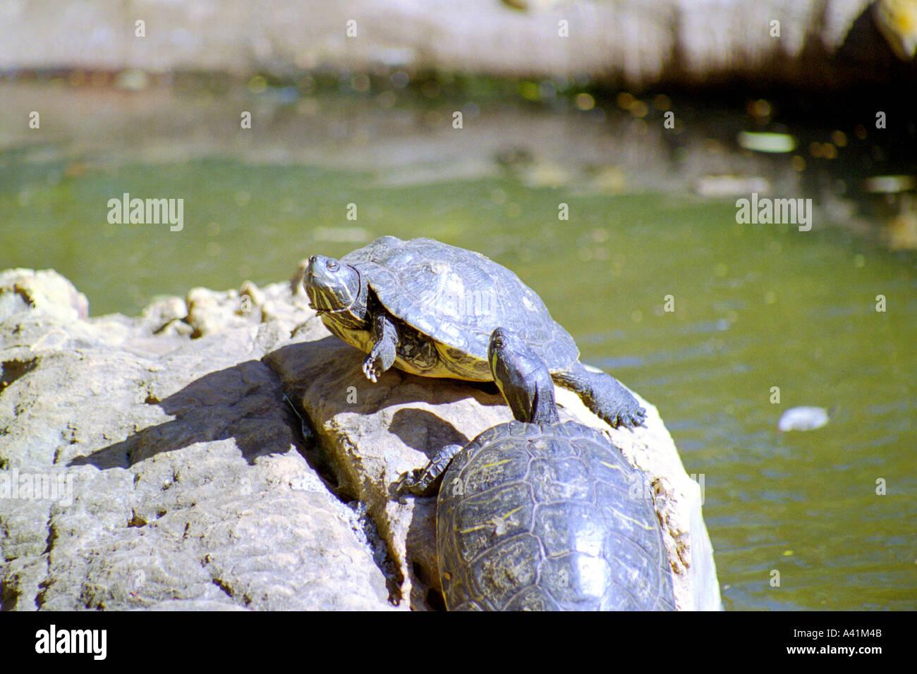 Two Tracaja Turtle Stock Photo