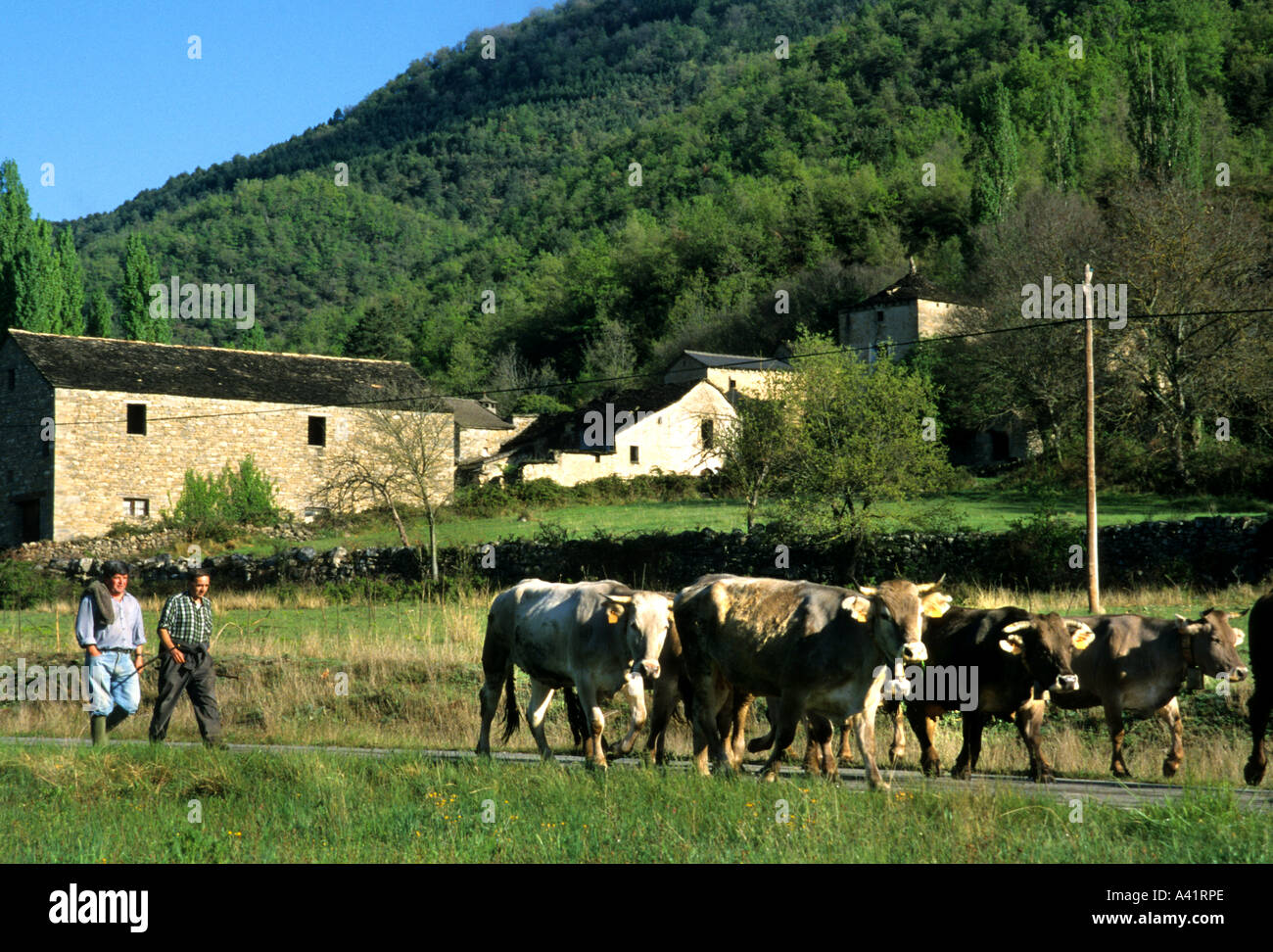 St, Cirq, Lapopie, cows - Stock Image