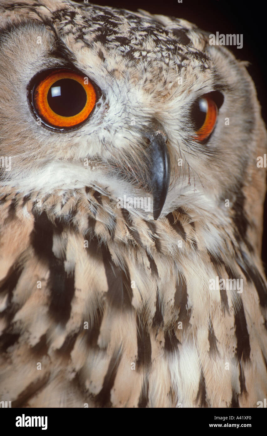 Bengal eagle owl - Stock Image
