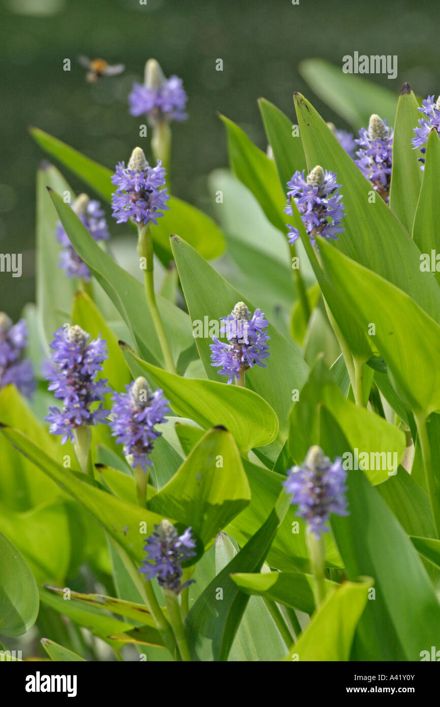 PICKERAL WEED PONDERTERIA CHORDATA PLANTS IN FLOWER - Stock Image