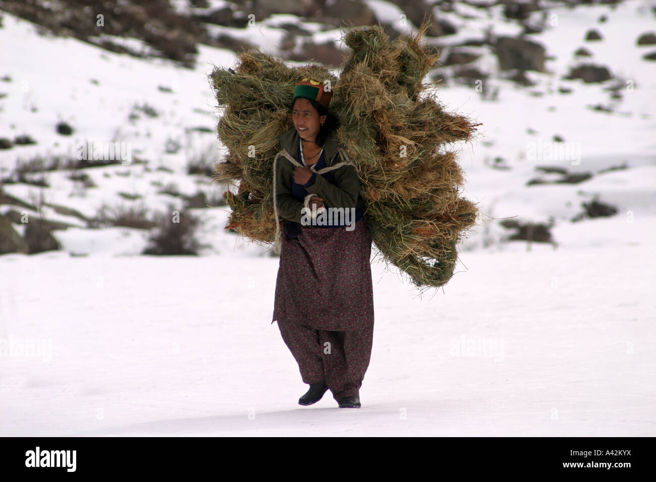 Villagers carry fodder for their cattle on their shoulders in extreme winters in village Chitkul, Himachal Pradesh - Stock Image
