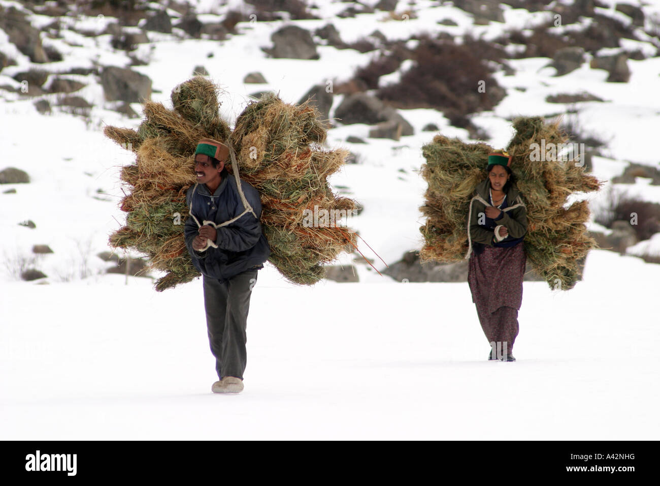 Villagers carry fodder for their cattle's in extreme winters in village Chitkul in Himachal Pradesh, India - Stock Image