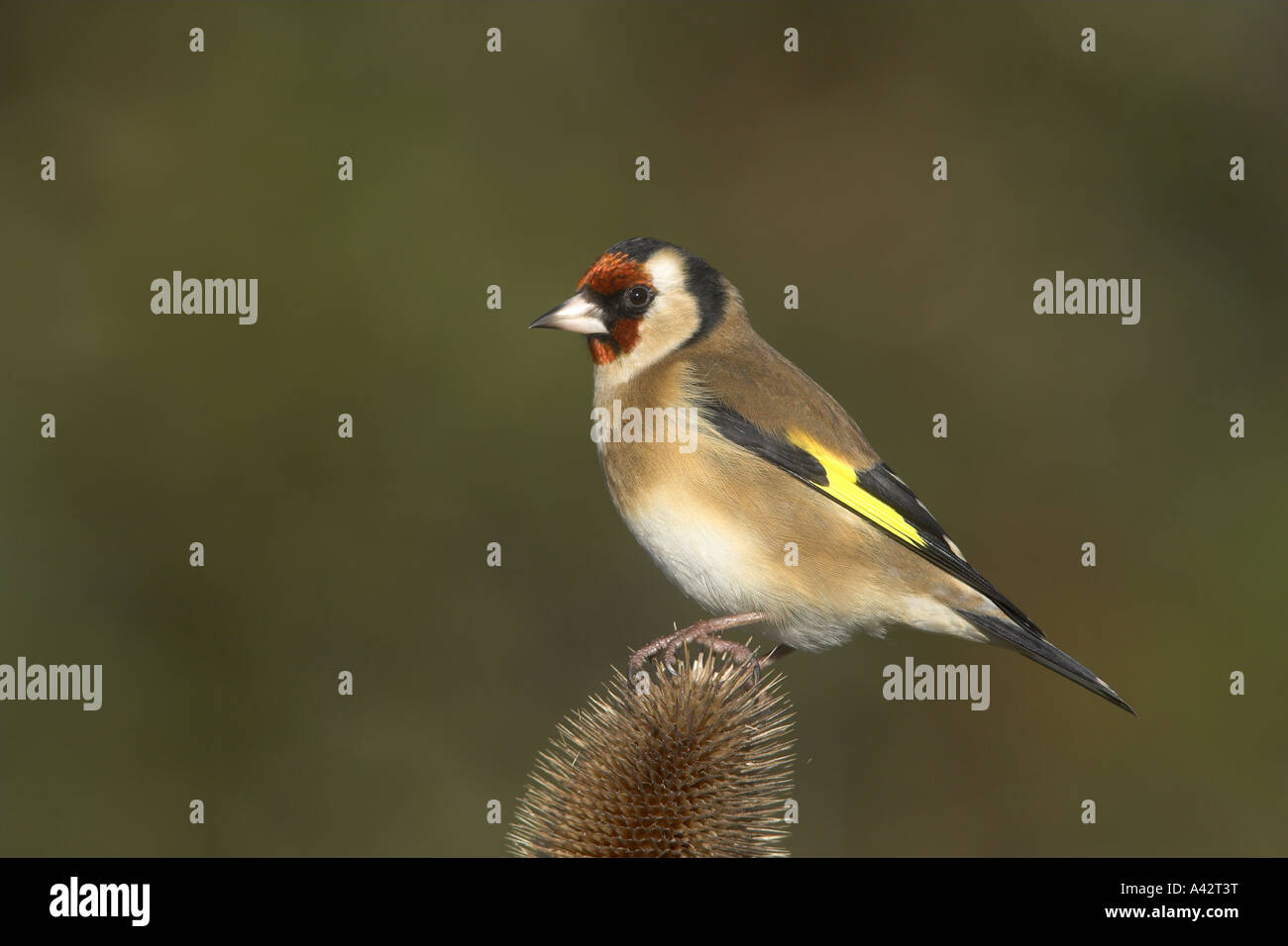 Eurasian Goldfinch Carduelis carduelis adult male perched on a Teasal seedhead, Todwick, South Yorkshire, England. - Stock Image
