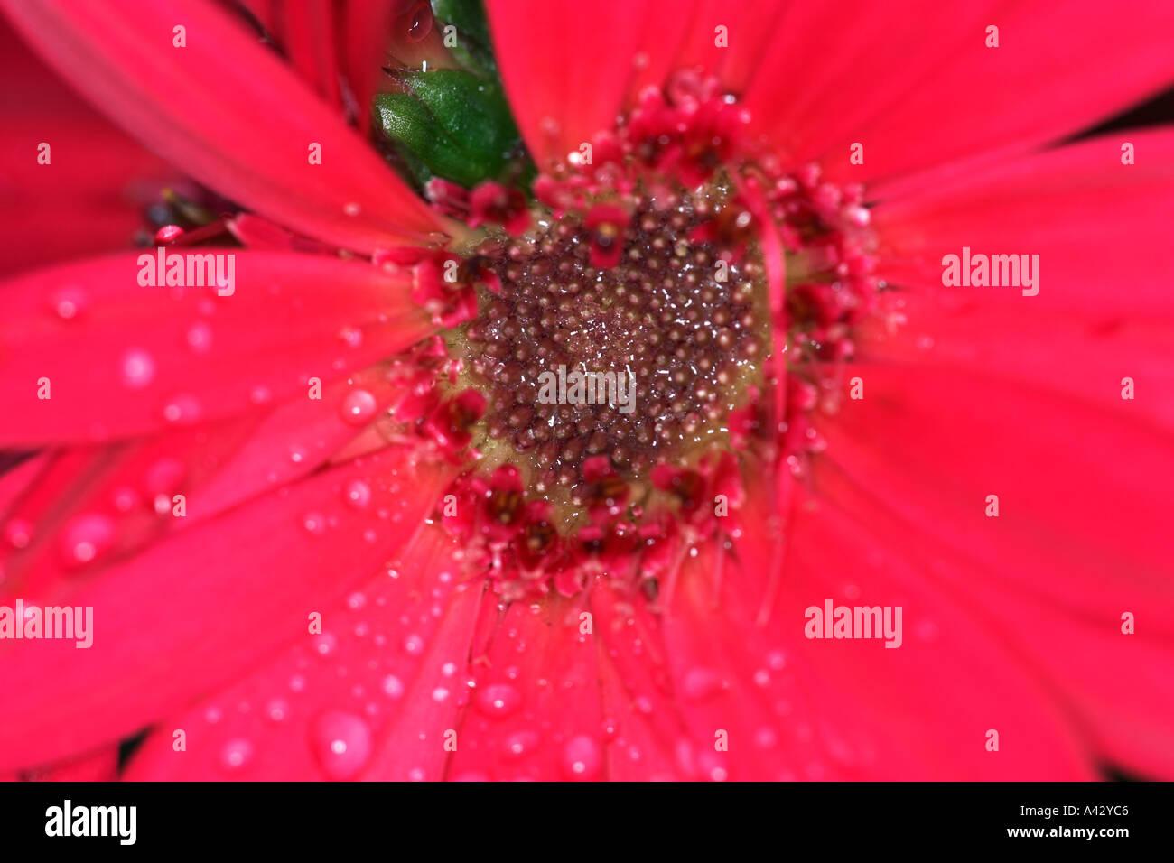 Red Gerbera Daisy Flower with Raindrops Stock Photo: 3564485 - Alamy