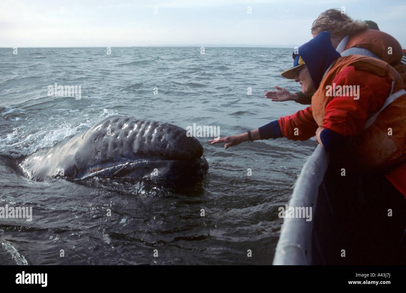 young friendly whale in san ignacio lagoon baja california mexico