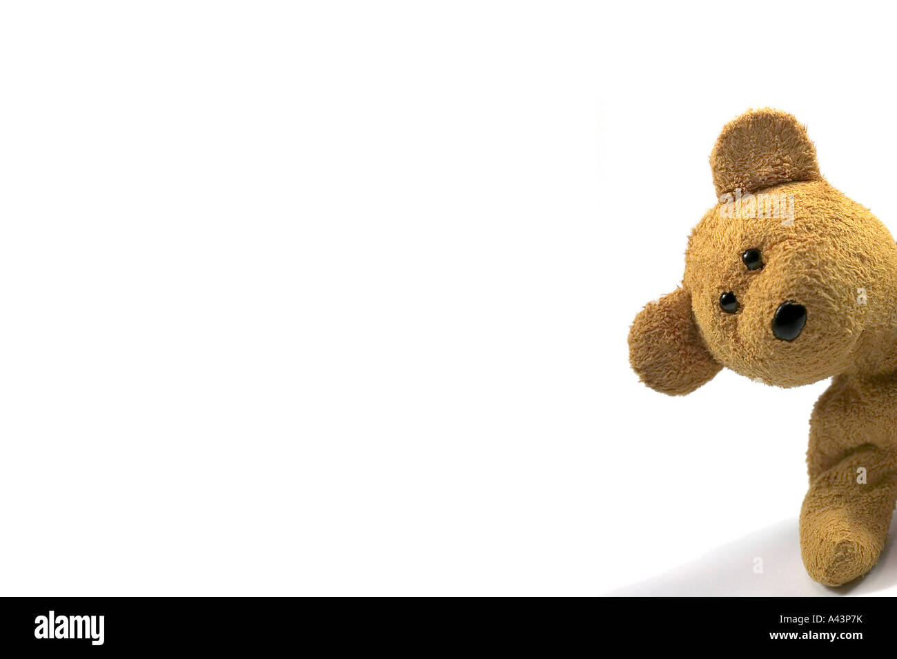 Teddy bear looking in from the right of frame white background for ...