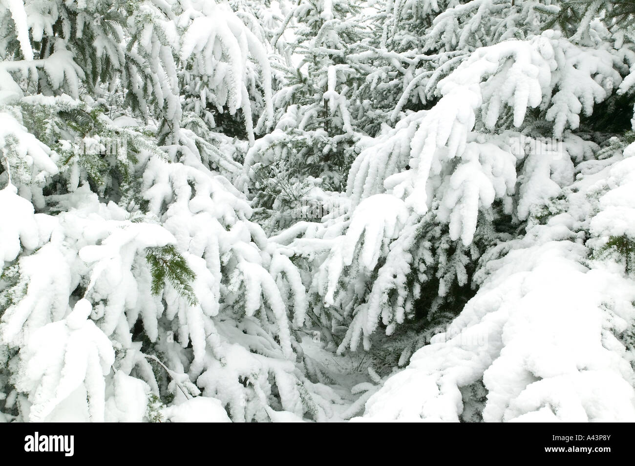 Branches of fir trees covered in fresh snow suitable for backgrounds - Stock Image