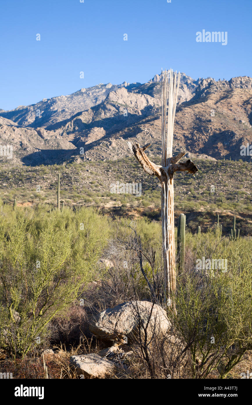 skeletal remains of Saguaro cactus in Catalina State Park near Tucson, Arizona, USA Stock Photo