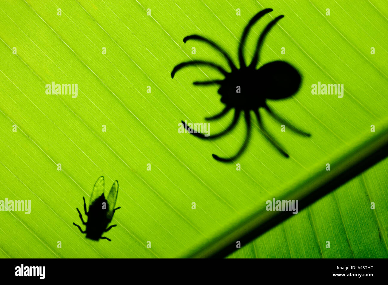Fly and spider in silhouette on banana leaf Studio photograph - Stock Image