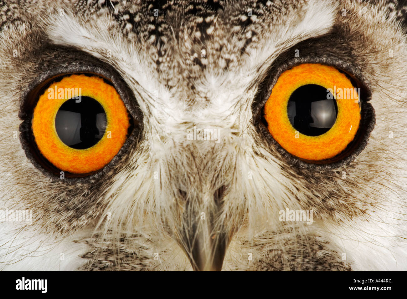 Southern White faced Owl Ptilopsis granti Medium sized nocturnal bird with prominent ear tufts. Found in Southern Africa - Stock Image