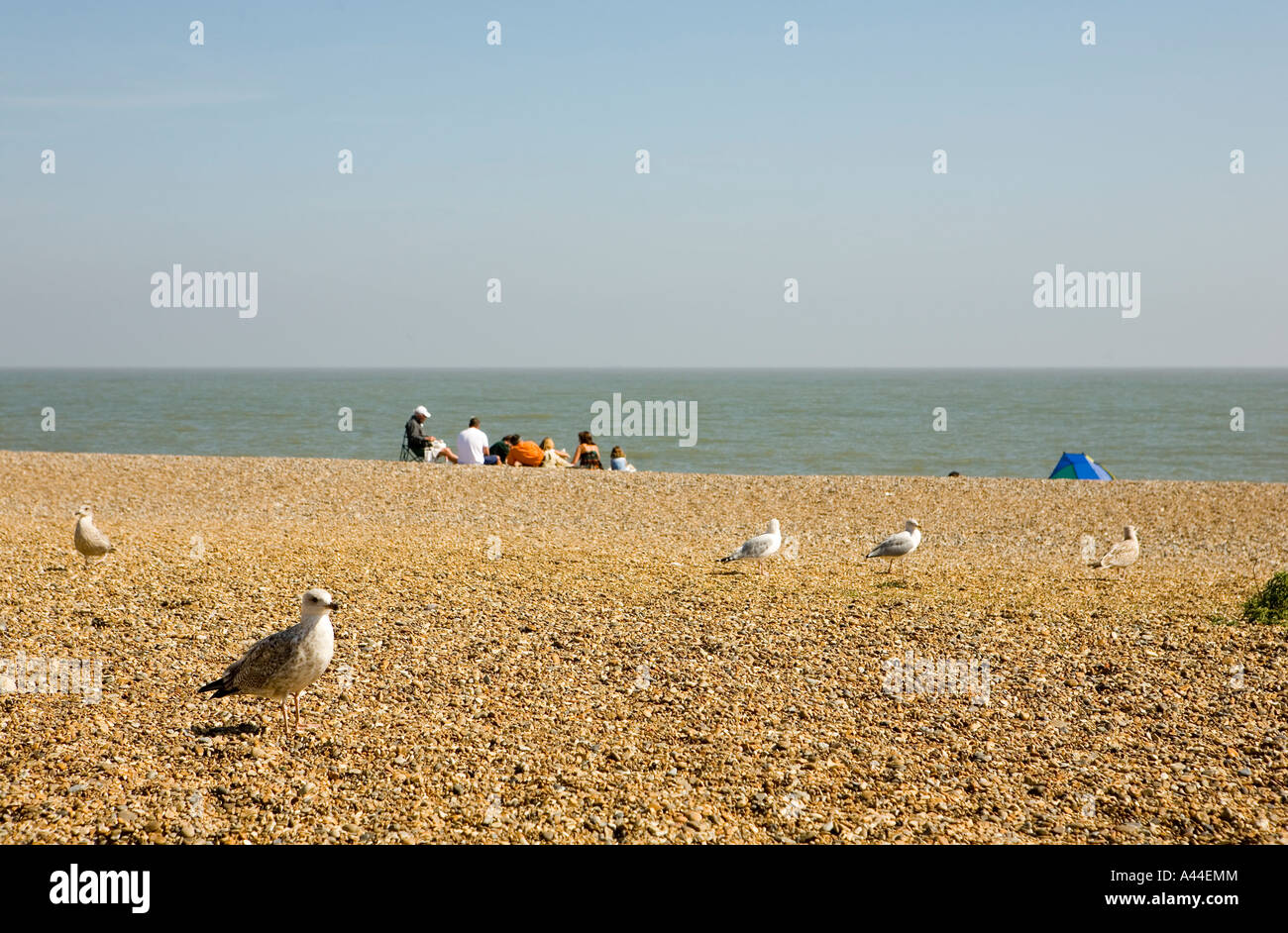 Family of seagulls with a human family in the background on Aldeburgh beach in Suffolk England shot September 2006 Stock Photo
