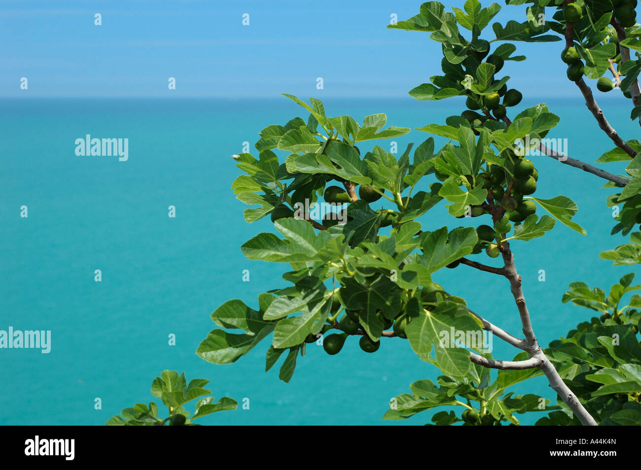 Unripe figs growing on the shore of Mediterranean Sea - Italy. - Stock Image