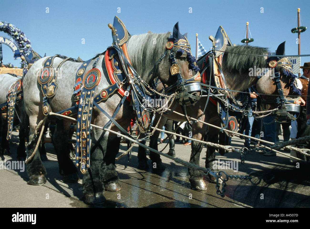 decorated horses of the brewery at oktoberfest munich bar cultural culture dine dining dinner drink drinks drinking eat - Stock Image