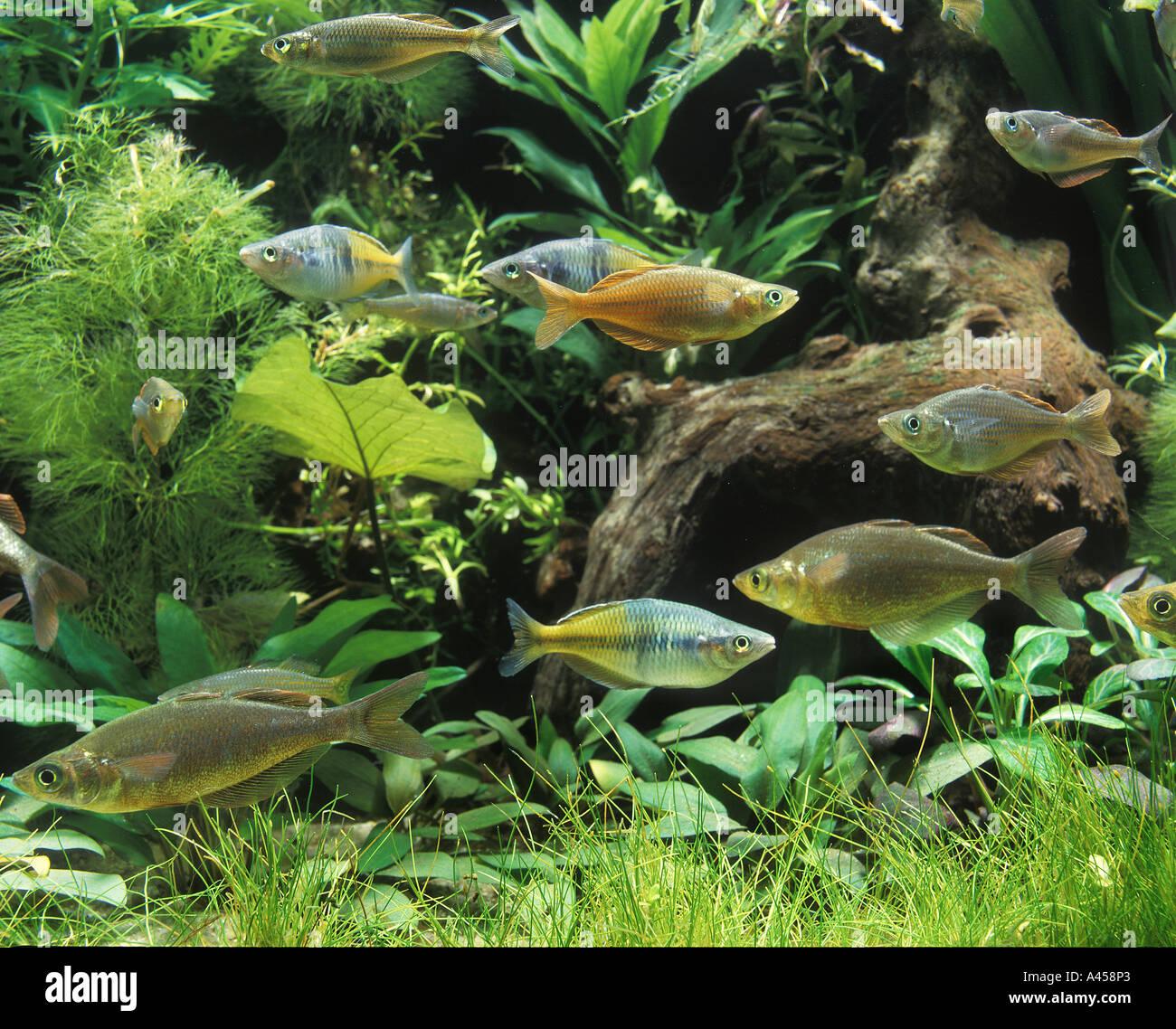 Australian Rainbowfish Brackish Water Fish Melanotenia Water