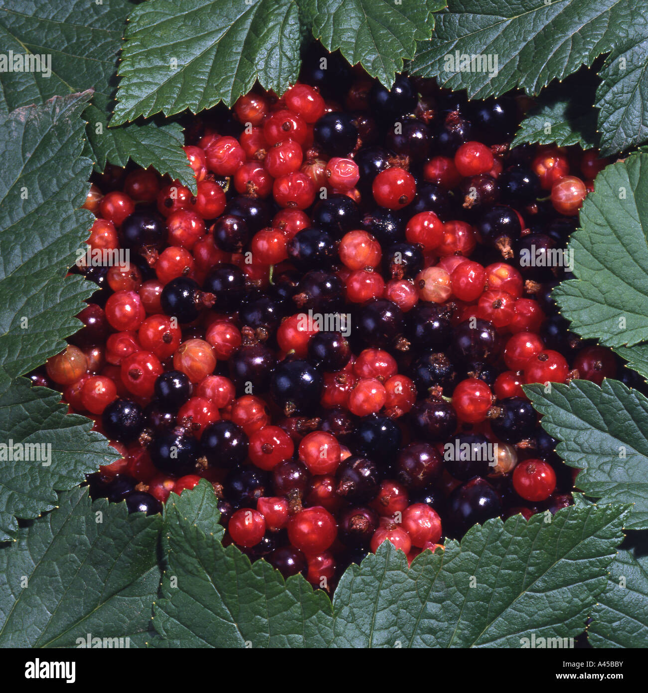 Redcurrants and Blackcurrants - Stock Image