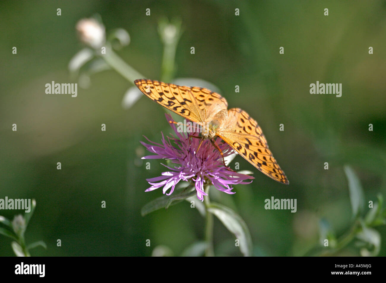 HIGH BROWN FRITILLARY ARGYNNIS ADIPPE TAKING NECTAR WINGS OPEN - Stock Image
