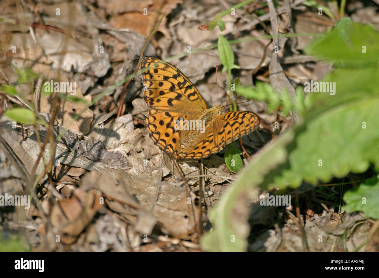 HIGH BROWN FRITILLARY ARGYNNIS ADIPPE AT REST ON GROUND WINGS OPEN - Stock Image