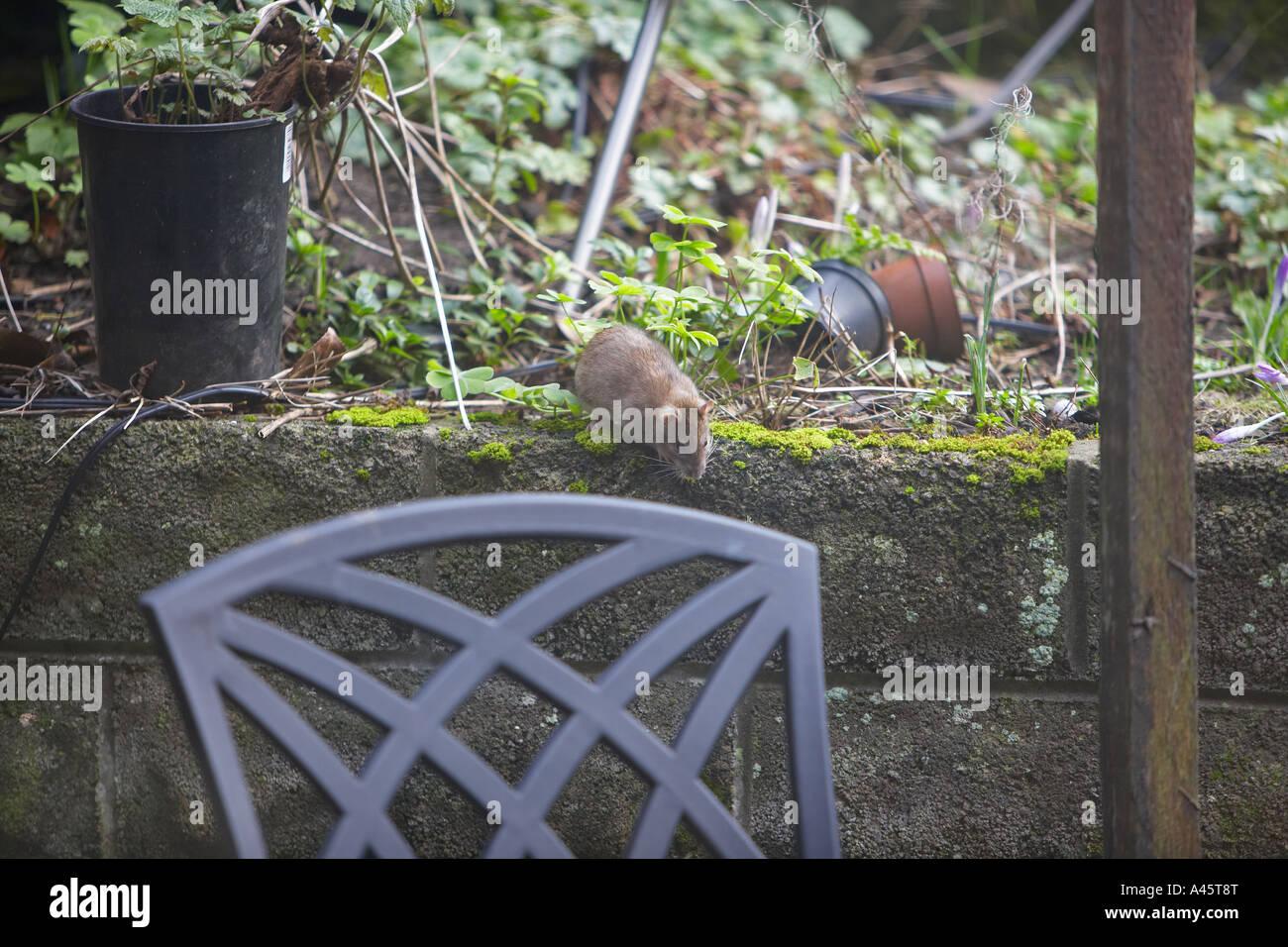 Rat Rattus norvegicus looking for food in a domestic garden - Stock Image