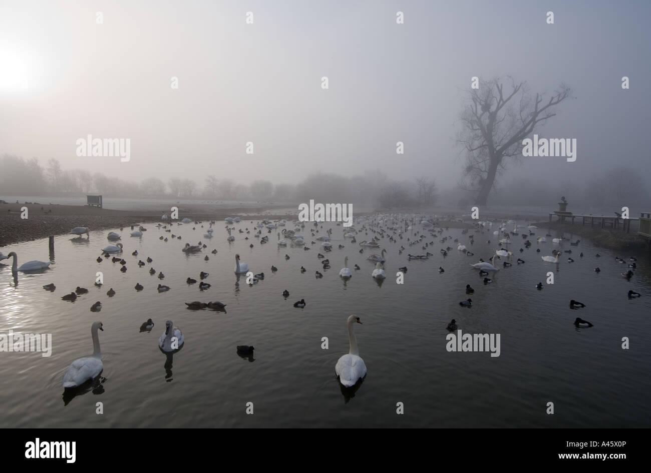 Wildfowl Wetlands Trust bird reserve Slimbridge - Gloucestershire - UK - Stock Image