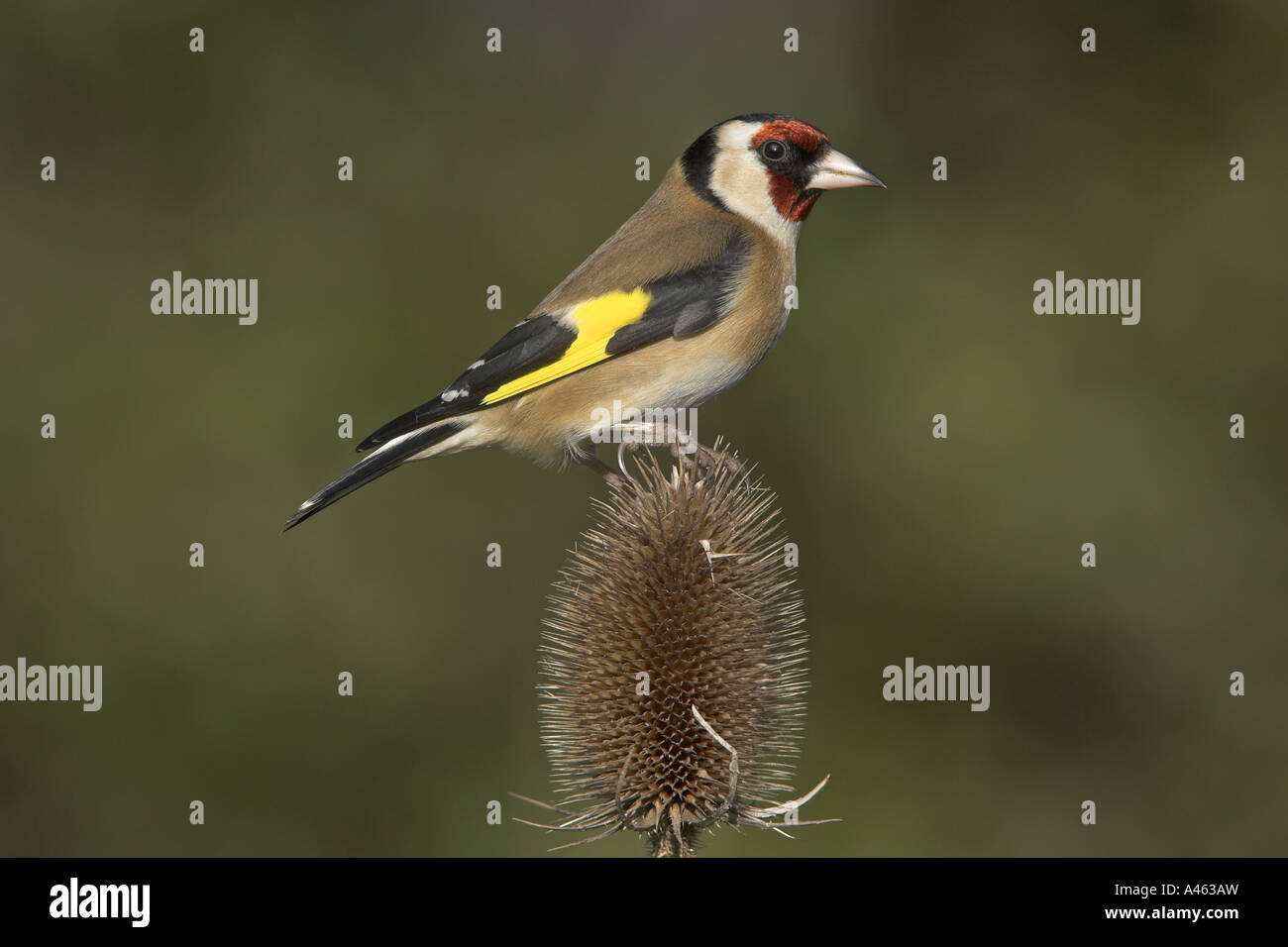 European Goldfinch Carduelis carduelis adult male perched on a Teasal seedhead, Todwick, South Yorkshire, England - Stock Image
