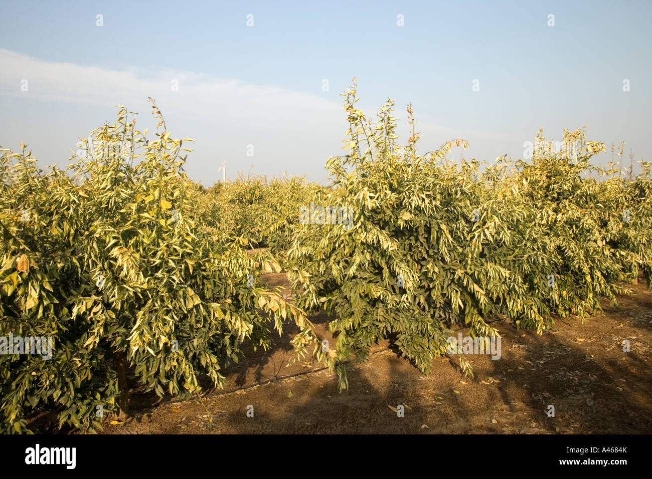 Frost damage to young orange orchard. - Stock Image