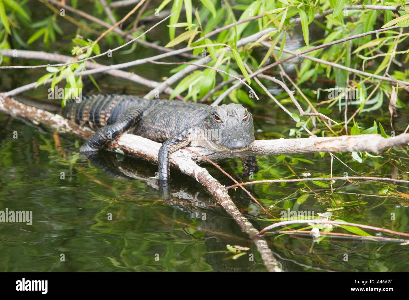 USA, Florida, young alligator baby takes a sunbath on a branch Stock Photo