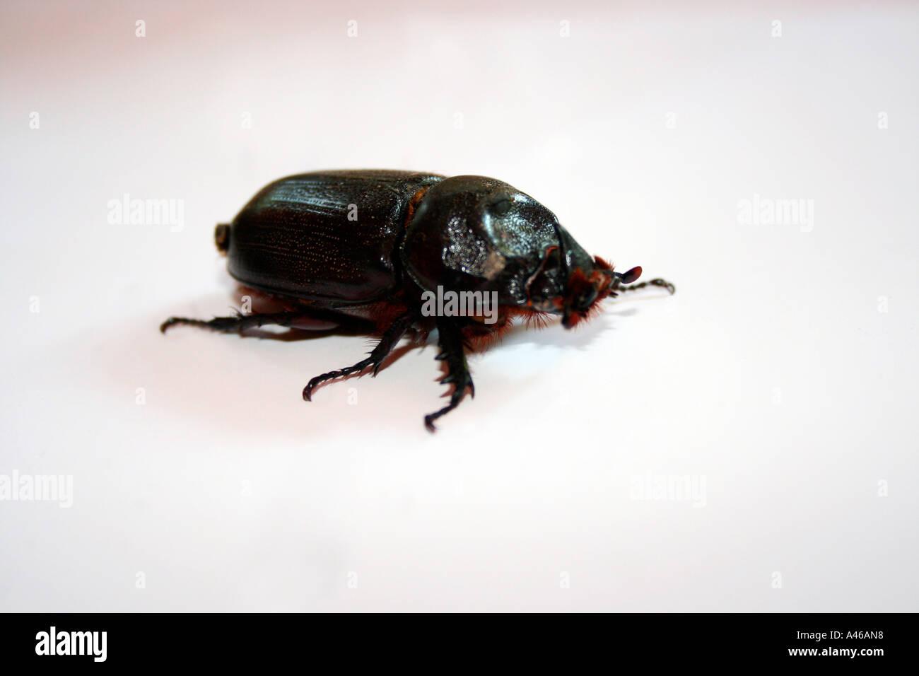 A black beetle. - Stock Image