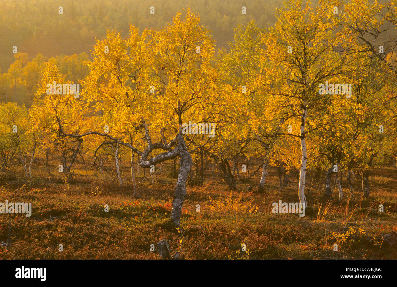 Downy Birch Moor-Birke Stock Photo