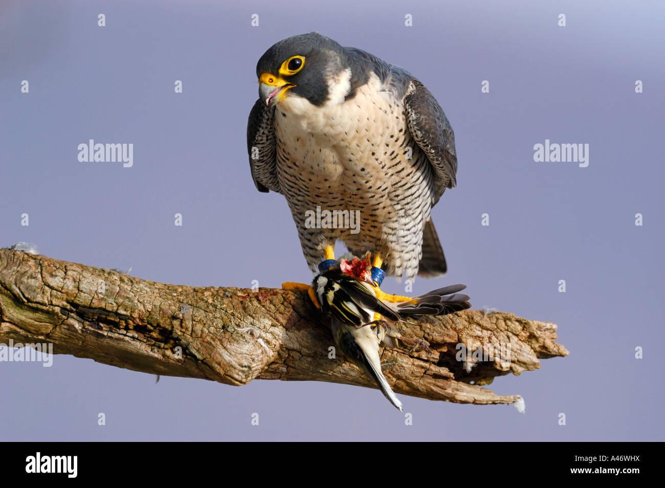Wanderfalke (Falco peregrinus) mit Beute an seinem Rupfplatz, Buchfink (Fringilla coelebs), Schwaebische Alb Baden - Stock Image