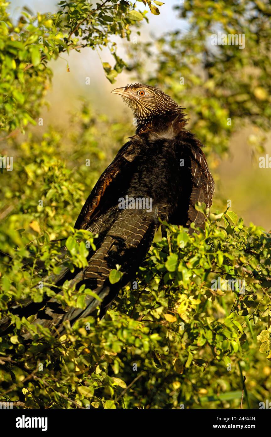 Pheasant, Coucal, Centropus phasianinus, australia - Stock Image