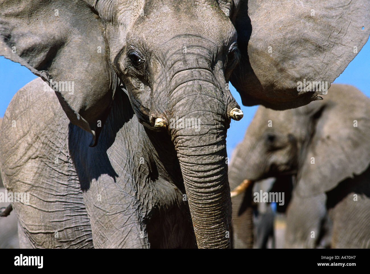 African elephant Loxodonta africana In aggressive posture Sub Saharan Africa - Stock Image