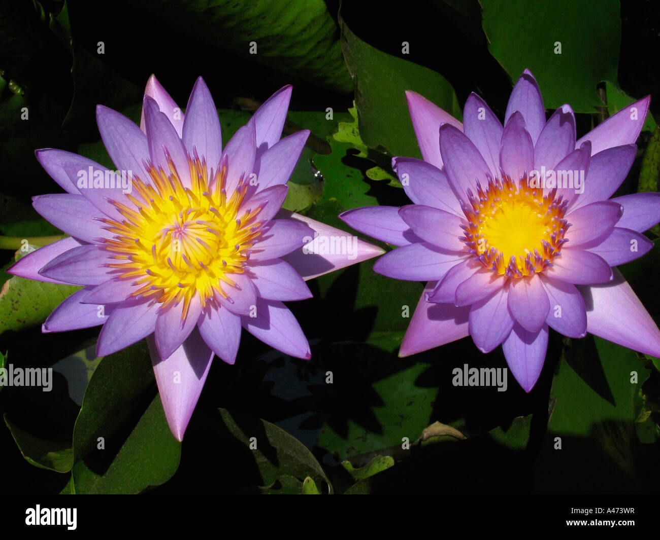 Close up of two purple lotuscred lotus nelumbo nucifera family close up of two purple lotuscred lotus nelumbo nucifera family nelumbonaceae lotus is the national flower of india izmirmasajfo