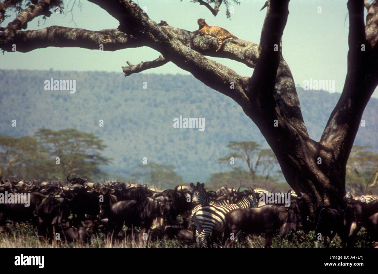 Wildebeest and Common Zebra under tree with leopard on branch above Serengeti National Park Tanzania - Stock Image