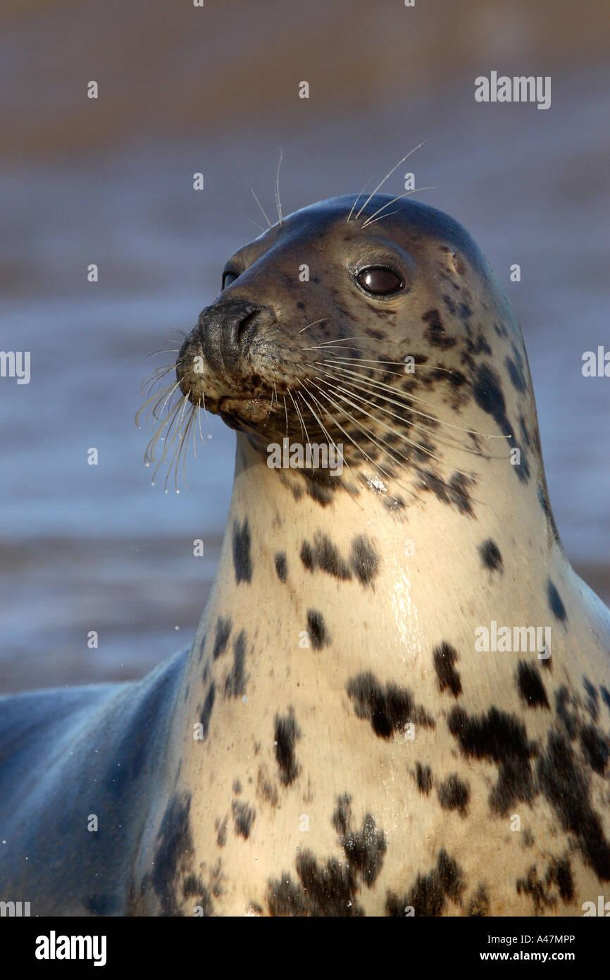Cow grey seal Halichoerus grypus at edge of sea Stock Photo