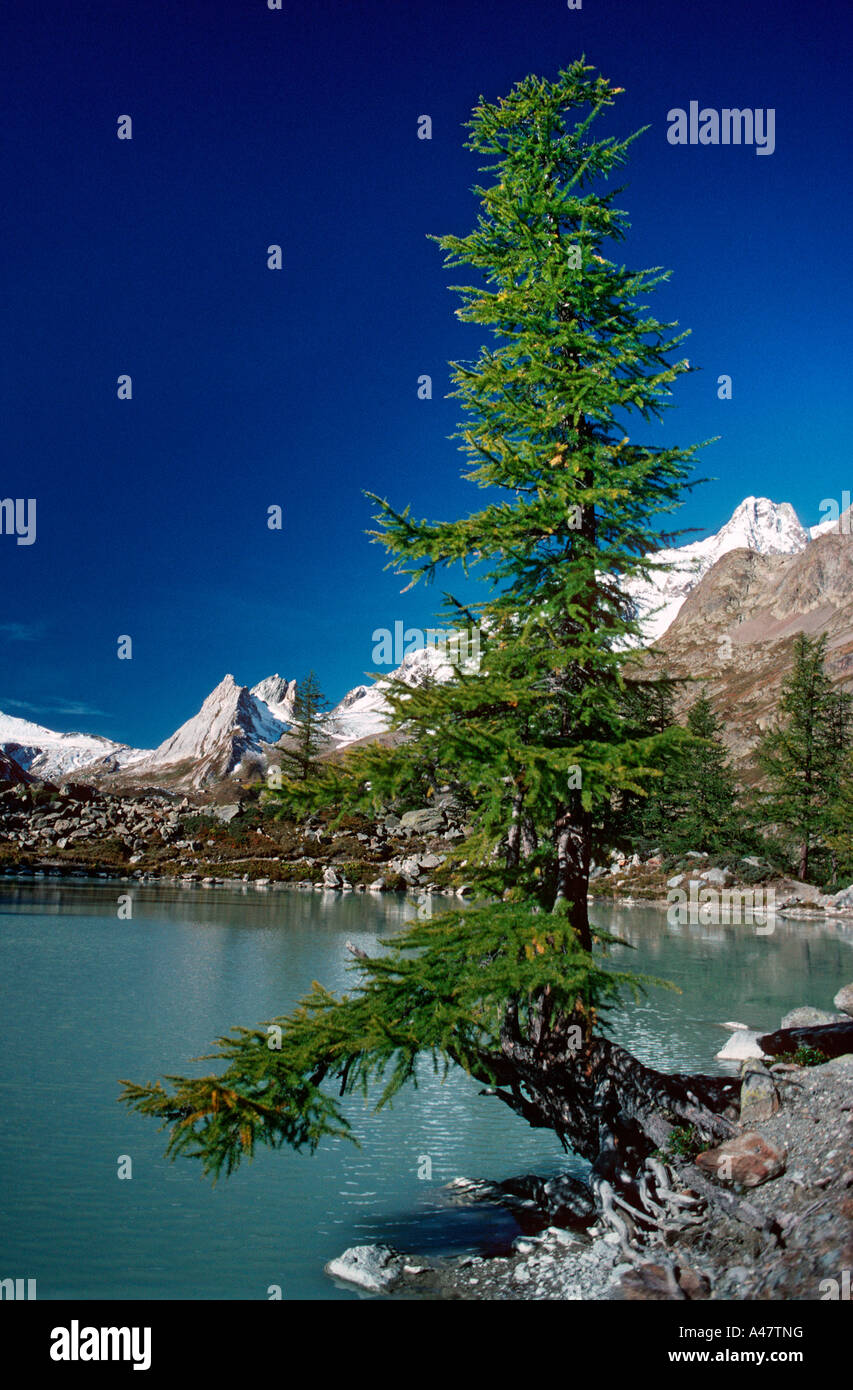 A larch by Lac du Miage in Italy - Stock Image