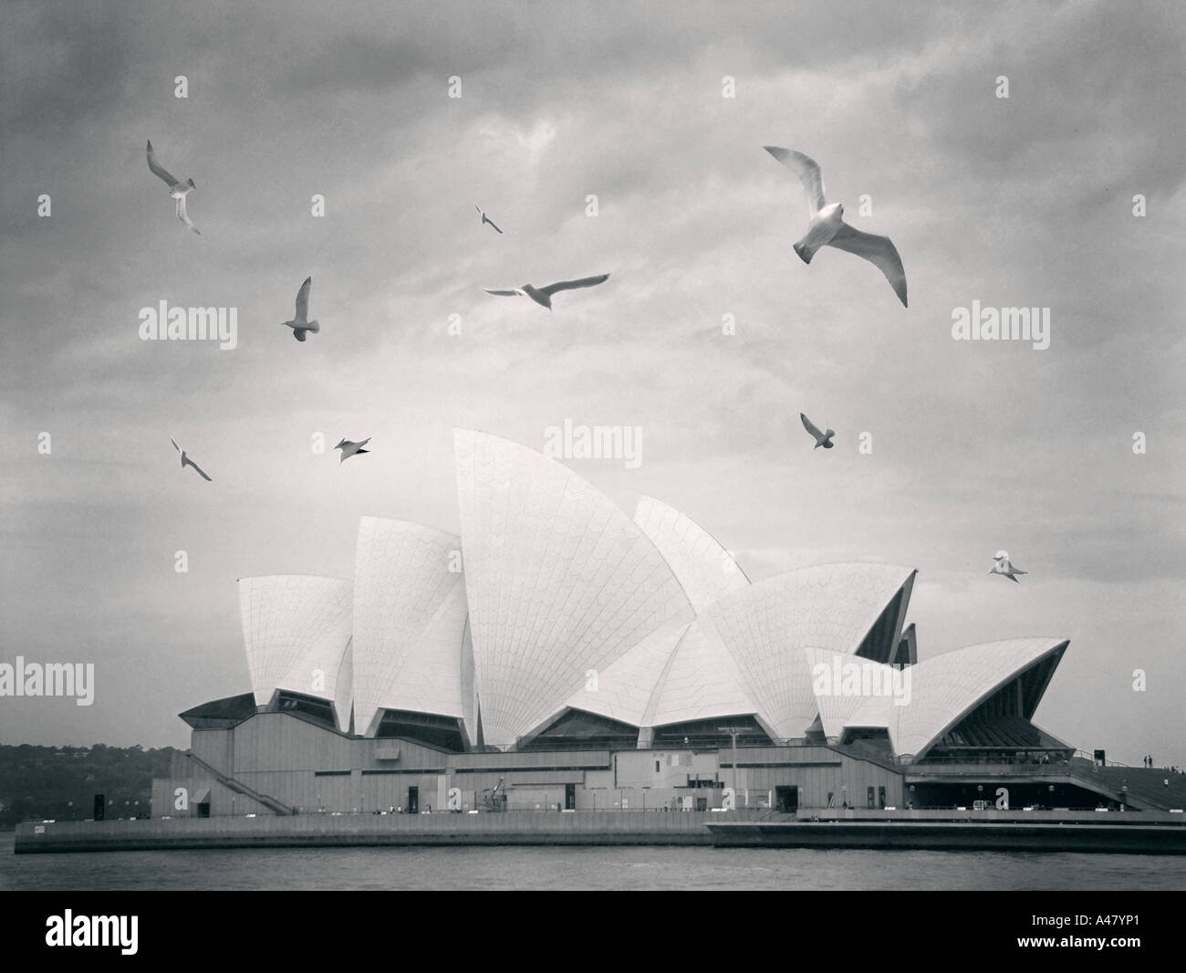 Sydney opera house, view across the harbor, with seagulls architecture, angled roof, glass, iconic shape, white tiles, water - Stock Image