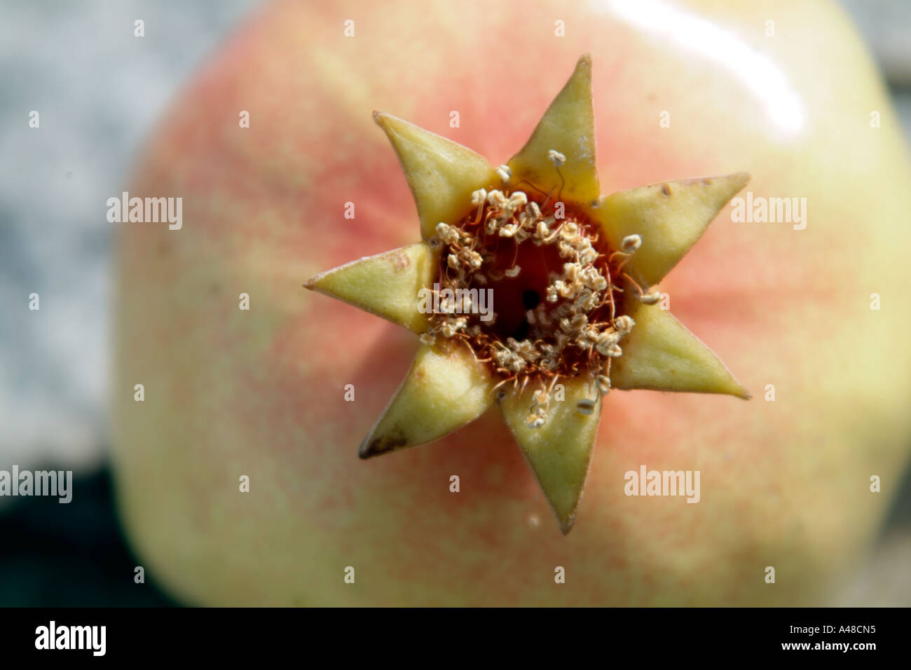 The detail of the crown of a whole pomegranate fruit - Stock Image