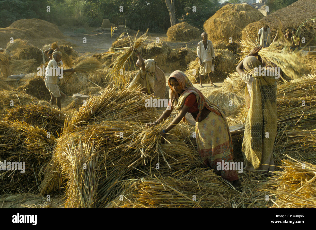 untouchable or low caste women threshing corn at a village near lucknow north india - Stock Image