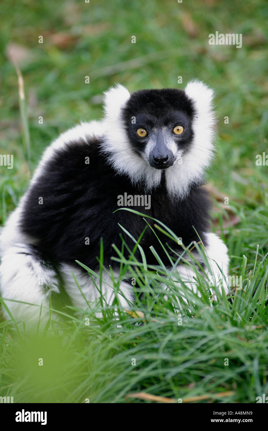 Black-and-white Ruffed Lemur / Schwarz-weisser Vari - Stock Image
