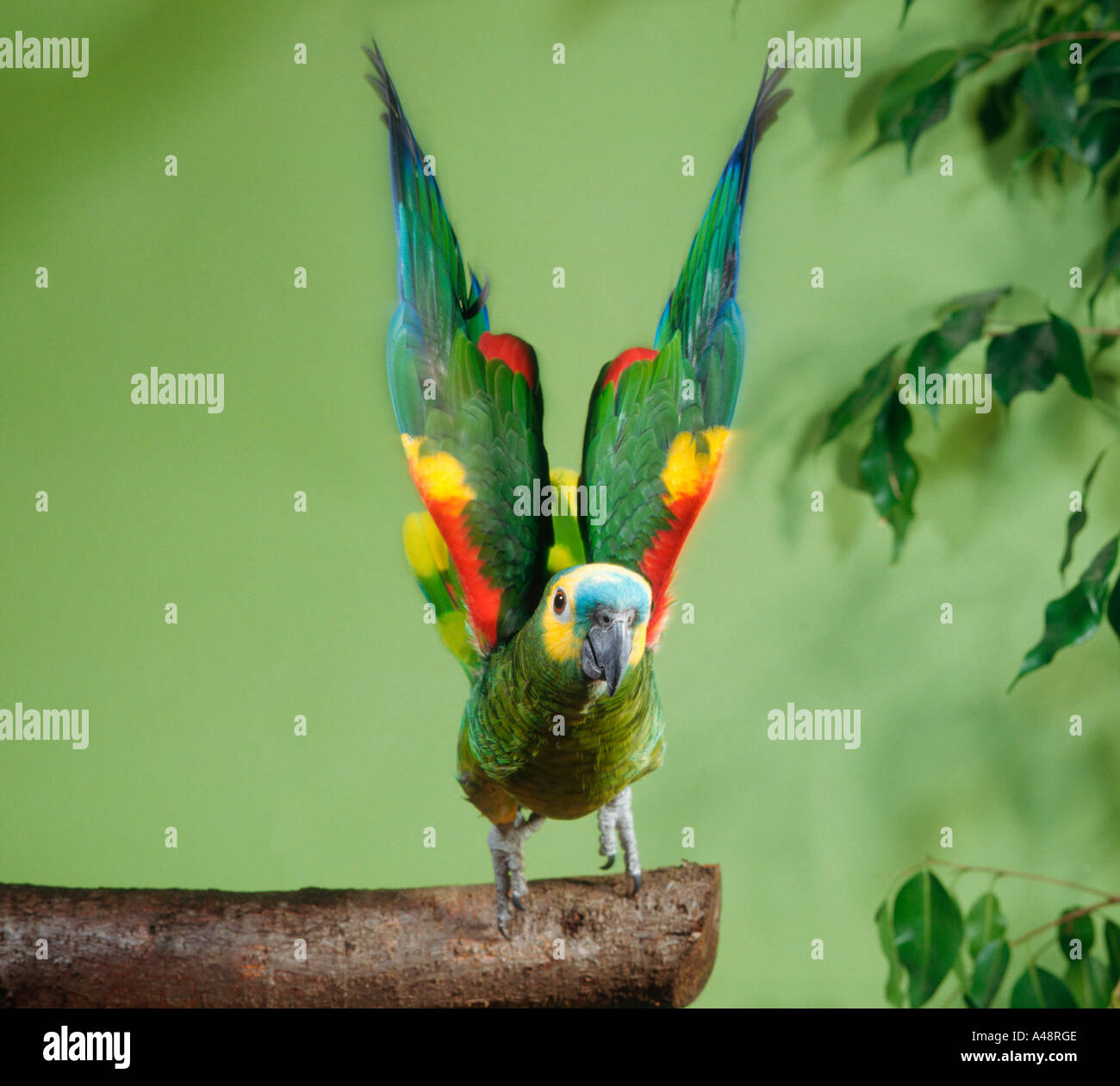 Blue Fronted Amazon Turquoise Parrot Stock Photo 6269261 Alamy