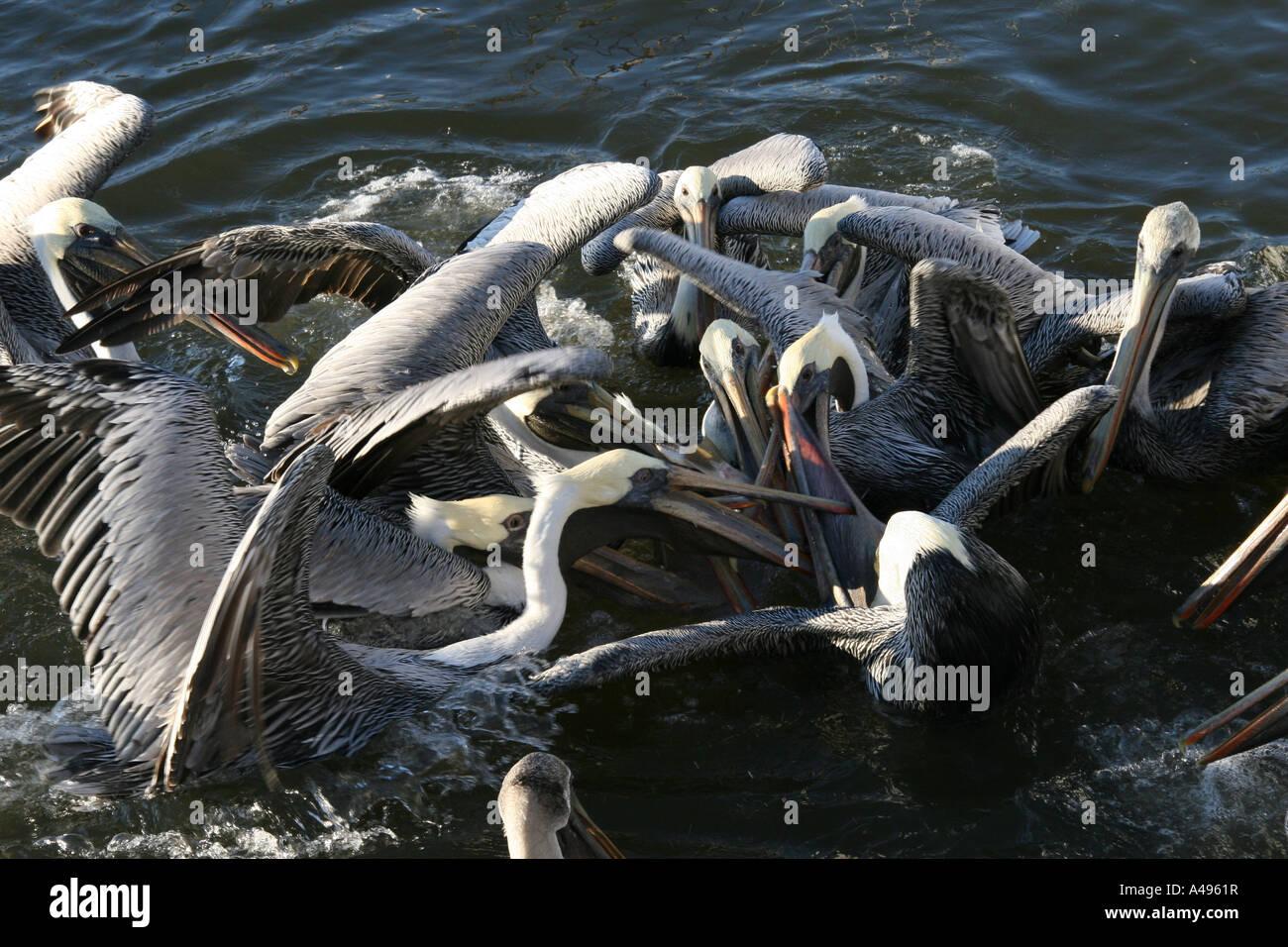Brown pelicans scrambling for fish scraps - Stock Image