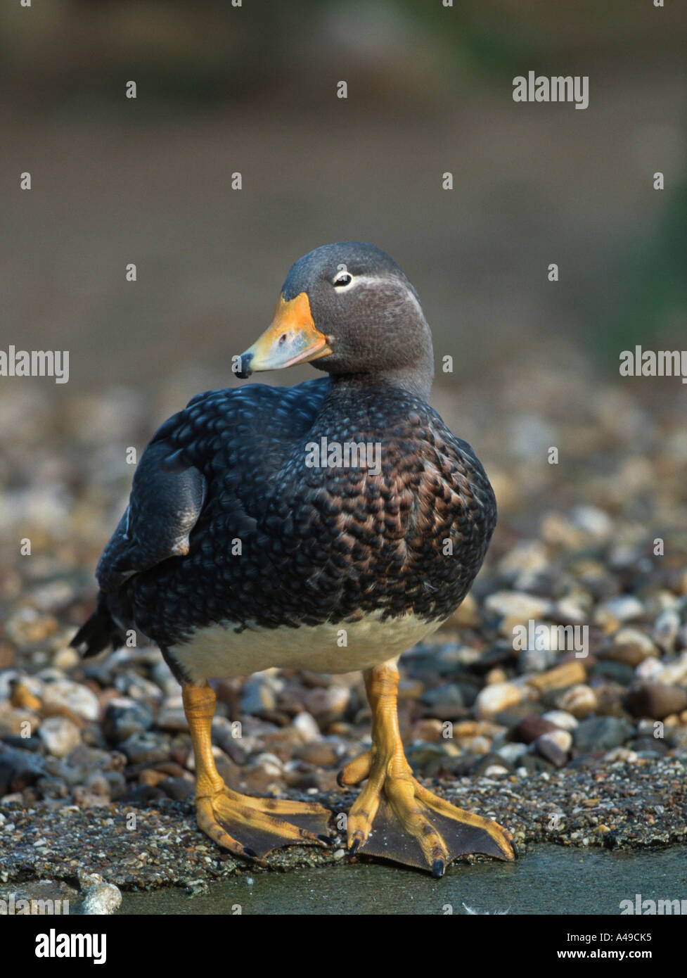 Falkland Island Flightless Steamer Duck - Stock Image