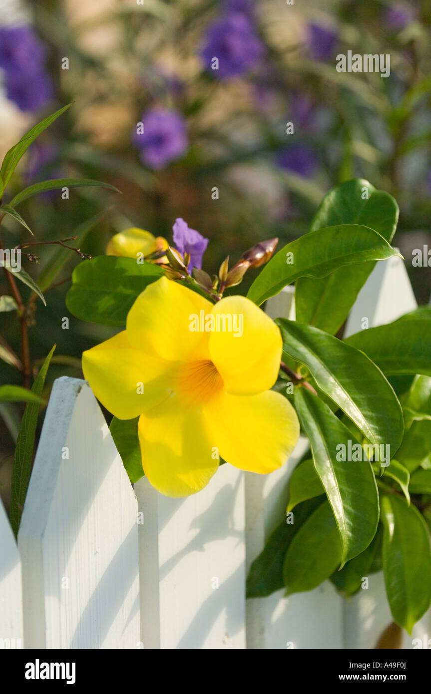 Usa Florida Keys Yellow Allamanda Flower On White Picket Fence With