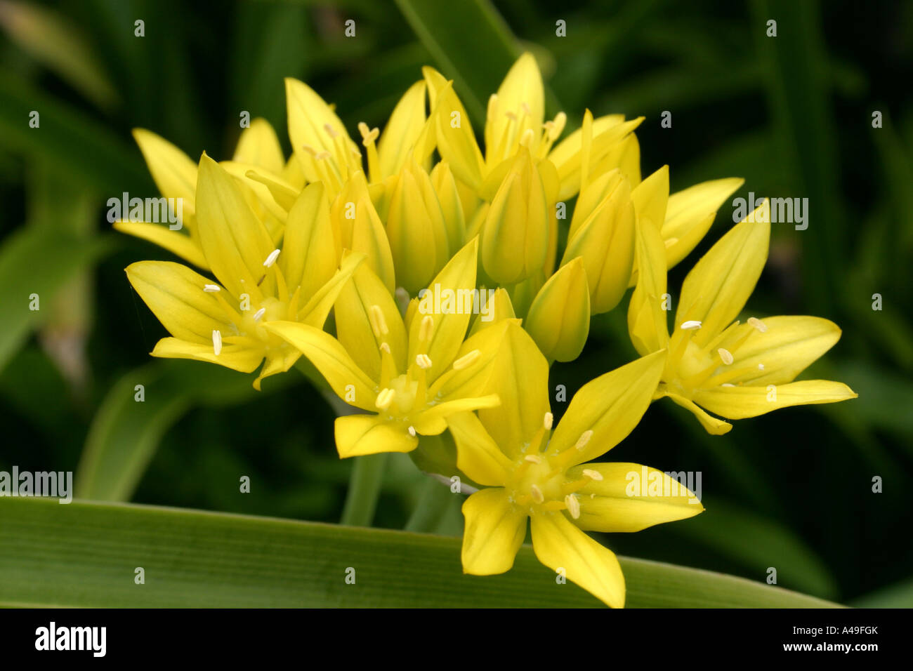 Yellow Star Shaped Flowers Of Plant Allium Moly Stock Photo