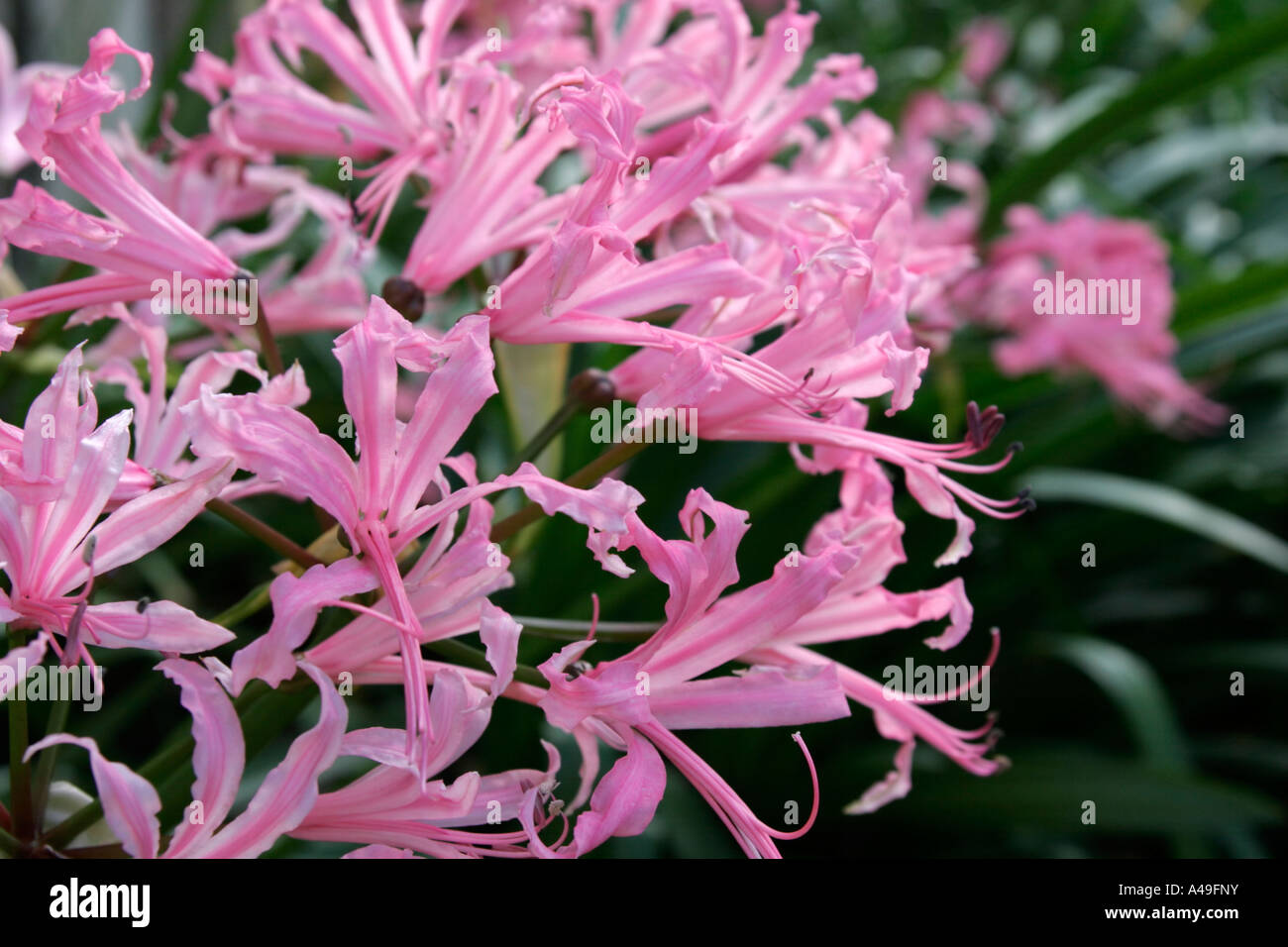 Nerine bowdenii flowers - Stock Image