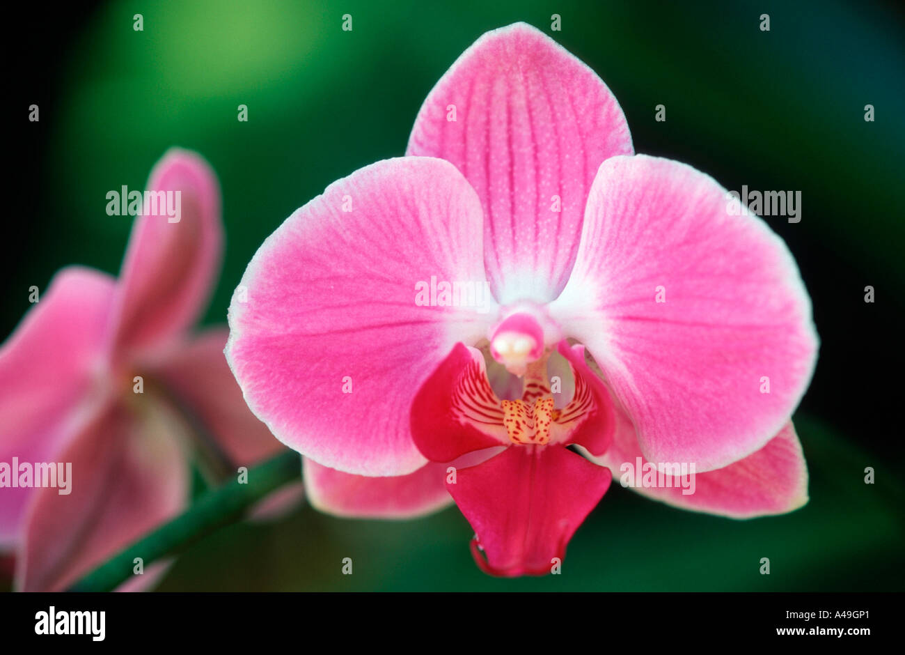 Orchid / Orchidee - Stock Image