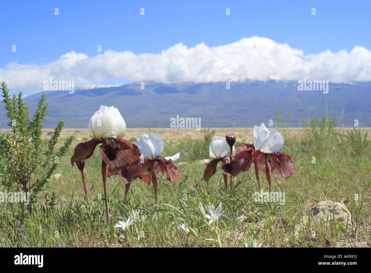 bearded iris (Iris iberica elegantissima), group of blooming plants in front of the mountain Ararat, Turkey, East - Stock Image